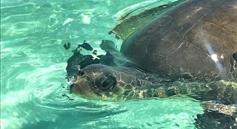 A Turtle Rescue at Coco Bodu Hithi