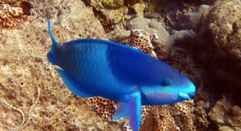 Our Favourite Bird, The Parrotfish